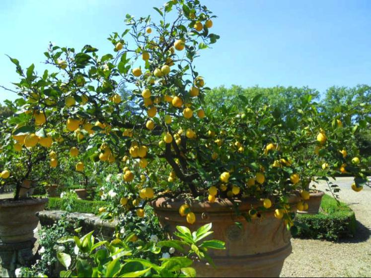 Terriccio per agrumi prezzi e offerte online for Coltivare limoni